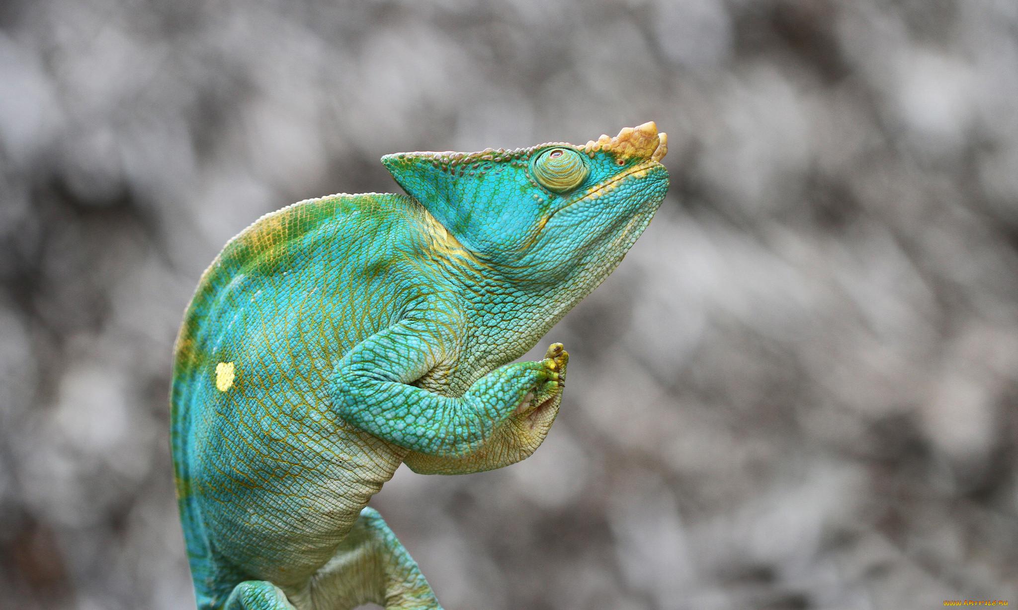 картинки хамелеона животное большой спектр навесного